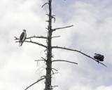 July 13 07 Vancouver Osprey --43-.jpg