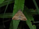 2625   Hypena proboscidalis  1869.jpg