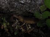 Triturus vulgaris  3753.jpg