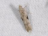 1106   Hypatima rhomboidella  8594.jpg