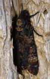 Acherontia atropos  9737.jpg