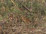 Muscardinus avellanarius  0759.jpg