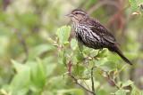 Female Red Wing Blackbird