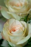 Rose echo