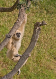 Gibbon1.jpg