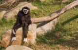 gibbon3.jpg