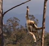 Gibbon7.jpg