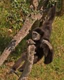 Gibbon8.jpg