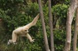 Gibbon9.jpg