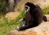 Gibbon10.jpg