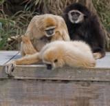Gibbons11.jpg