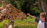 giraffe feeding.jpg