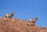 Big Horn Sheep  I've been spotted