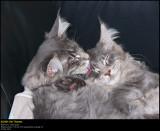 Lurine & Lakiesha as Kittens