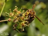 EUROPEAN HORNET and WASP