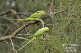 ROSE-RINGED PARAKEET pair