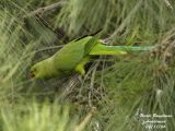ROSE-RINGED PARAKEET female