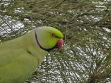 ROSE-RINGED PARAKEET male