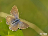LONG TAILED BLUE - LAMPIDES BOETICUS – AZURE PORTE-QUEUE