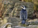 The Great Cormorant, this unloved beautiful species!