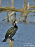 GREAT CORMORANT breeding adult