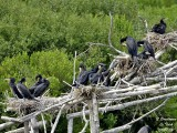 GREAT CORMORANT colony