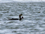 GREAT CORMORANT with crab
