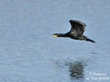 GREAT CORMORANT flying