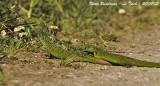 GREEN LIZARDS PAIR - Lacerta viridis - Lézard vert