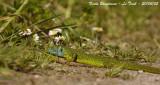 GREEN LIZARD male - Lacerta viridis - Lézard vert