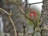 COMMON LINNET - LINARIA CANNABINA - LINOTTE MELODIEUSE