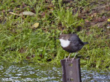 White-throated Dipper - Cinclus cinclus - Cincle Plongeur