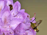 BROAD-BORDERED BEE HAWK-MOTH and BEE BEETLE