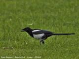 Black-billed Magpie juvenile