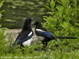 Black-billed Magpie and young