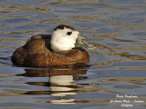 WHITE-HEADED DUCK - OXYURA LEUCOCEPHALA - ERISMATURE A TETE BLANCHE