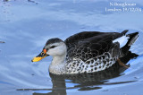 INDIAN SPOT-BILLED DUCK - ANAS POECILORHYNCHA - CANARD A BEC TACHETE