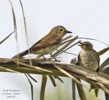 Spotted Flycatcher and baby