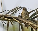 Spotted Flycatcher juvenile