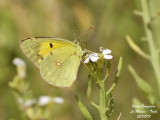 CLOUDED YELLOW - COLIAS CLOCEUS - LE SOUCI