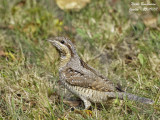 The Wryneck (Jynx torquilla), a strange bird, between scales and feathers