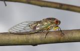 Psaltoda claripennis - cicada