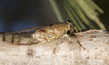 Tamasa tristigma - the brown bunyip cicada