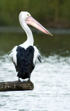 Pelican - a portrait