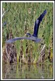 GRAND HÉRON BLEU  -   GREAT BLUE HERON     IMG_3790 .jpg