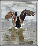 _MG_2489  -  CANARD COLVERT, mâle  -  MALARD, male