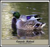 IMG_6130   -  CANARD COLVERT / MALARD