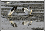 IMG_8909 .jpg  -  OIE DES NEIGES  -  SNOW GOOSE