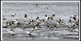 IMG_9038 .jpg  -  OIE DES NEIGES  -  SNOW GOOSE