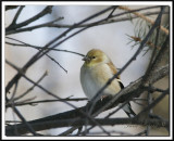 CHARDONNERET JAUNE / AMERICAN GOLDFINCH     hiver/winter   _ MG_2098a.jpg